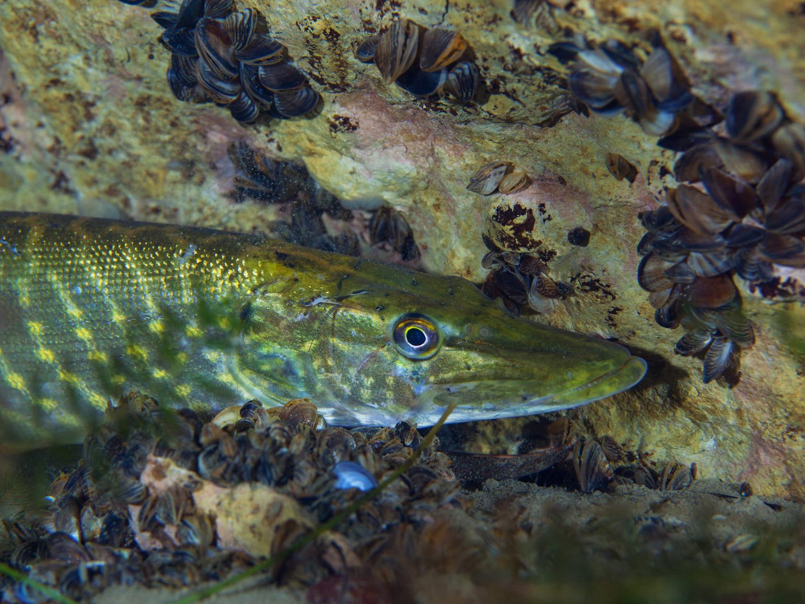 Hecht bei einem Discover Local Dive