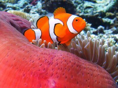 Clownfische sind beliebte Sujet für die Unterwasserkamera